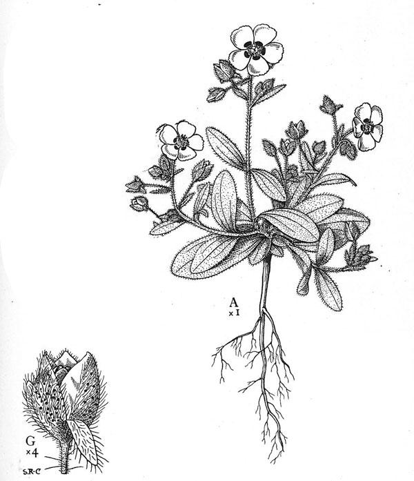 Spotted rockrose