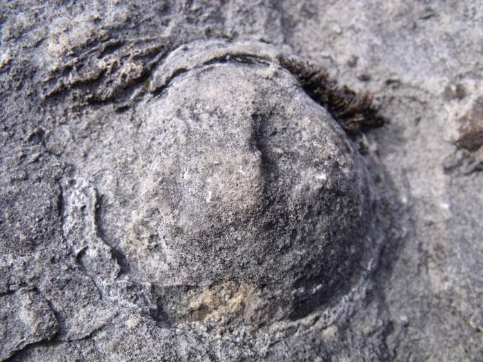 fossil in Carboniferous Limestone