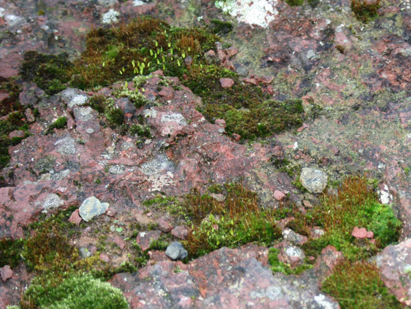 Moss on Devonian Red Sandstone
